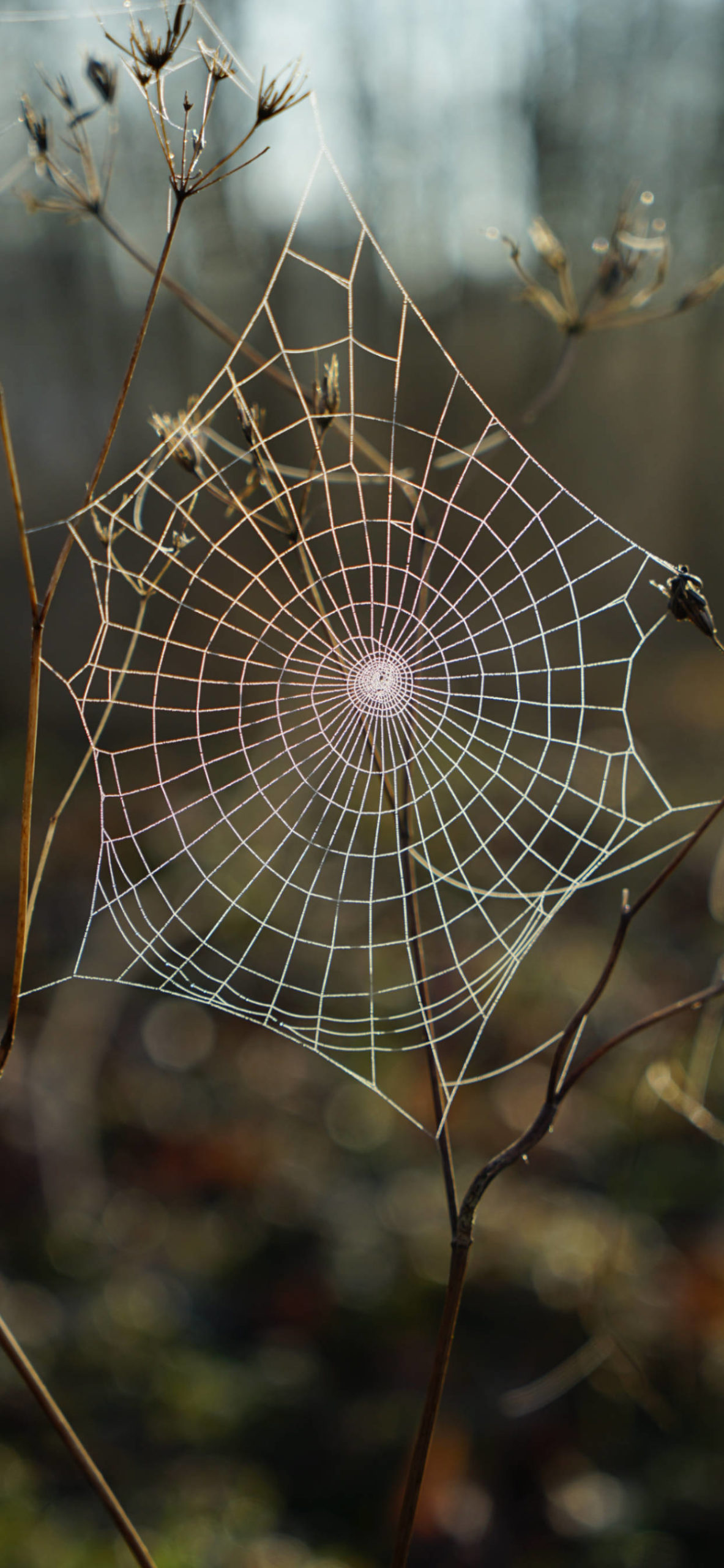 iPhone wallpapers spiderweb blur scaled Spider web
