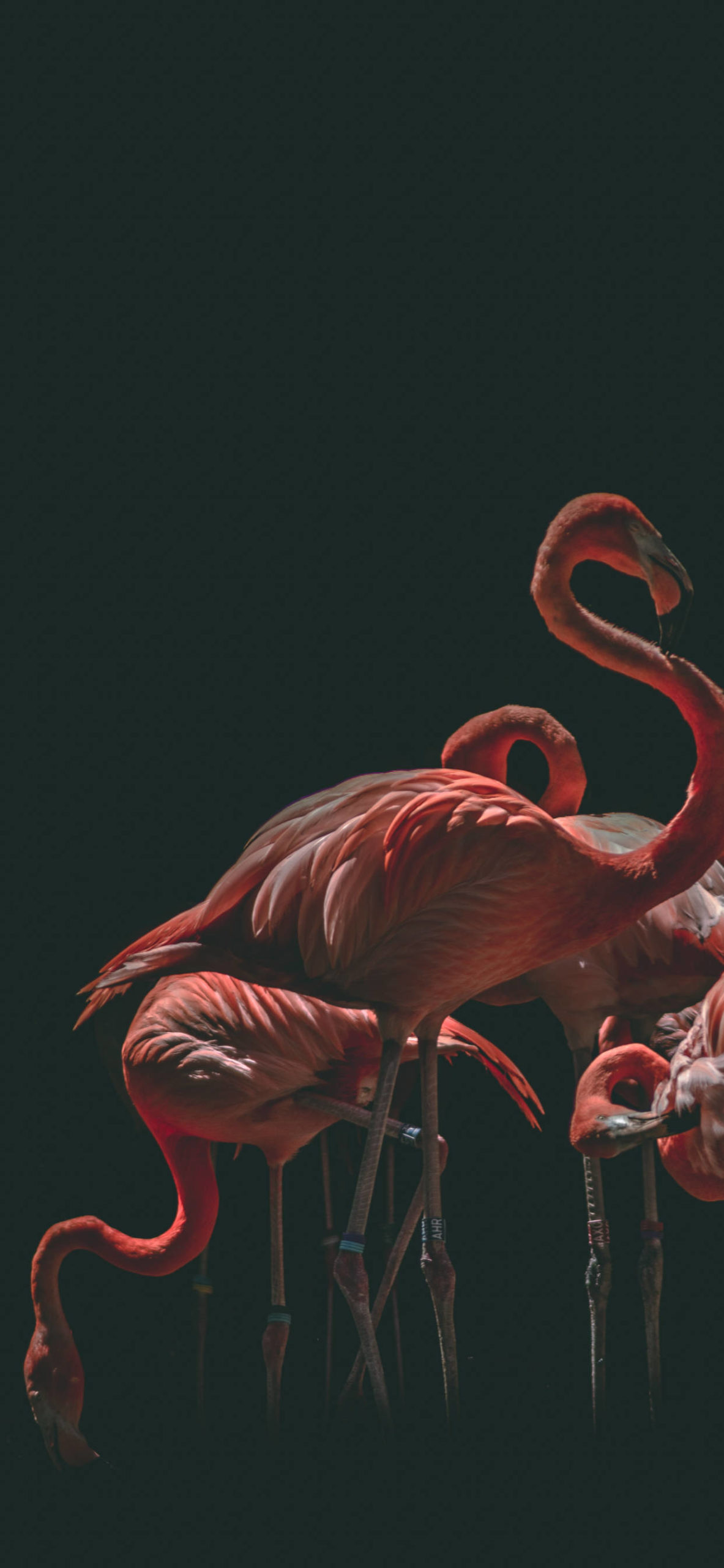 iPhone wallpapers famingo group black scaled Flamingo