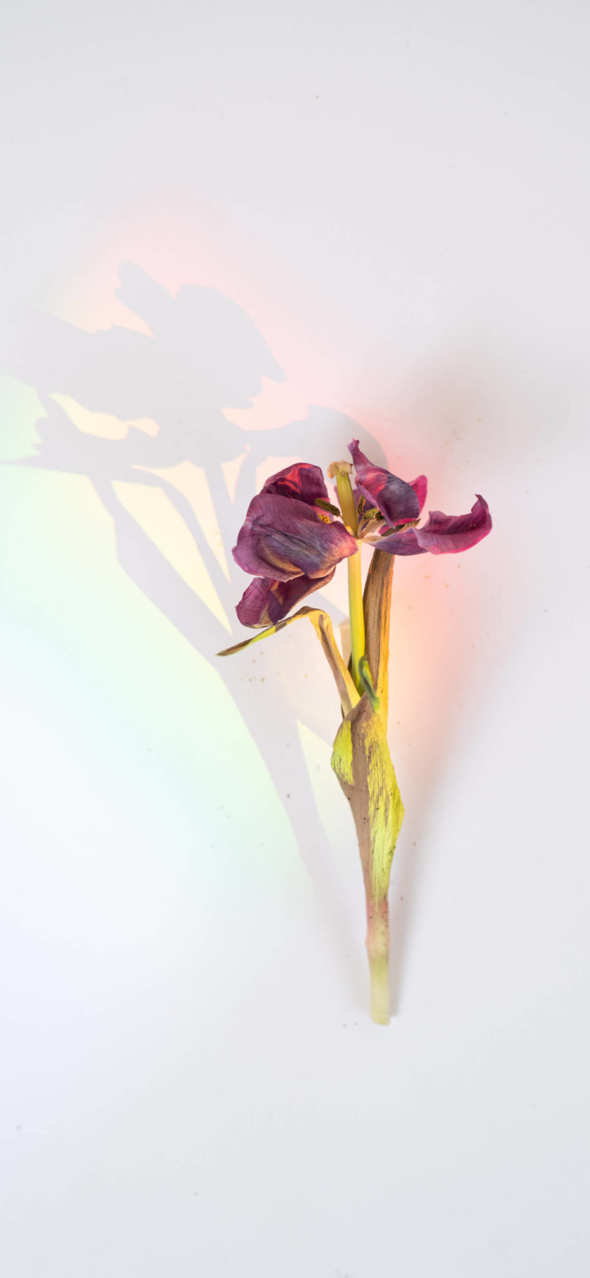 iPhone wallpapers flowers shadow scaled Flowers