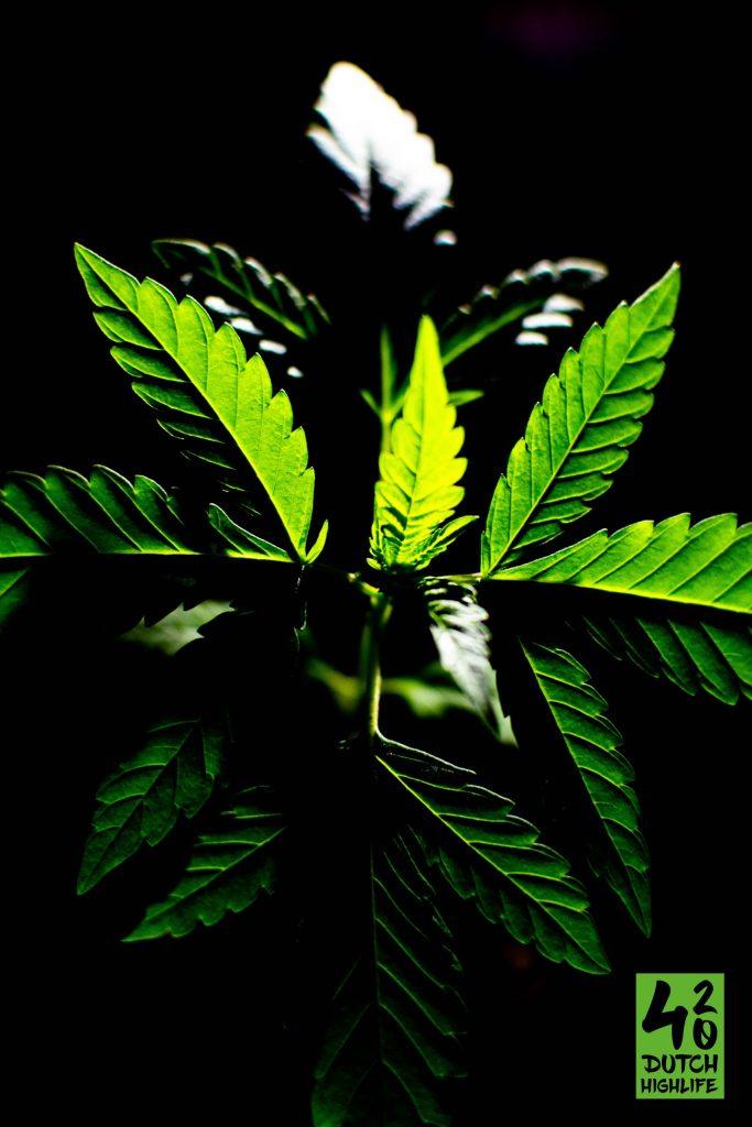 Skunk Haze En Kush De Basis Van De Hedendaagse Cannabis