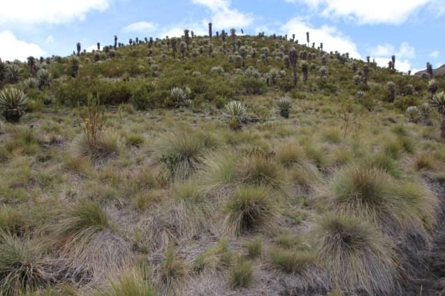 Frailejones on the hillside.