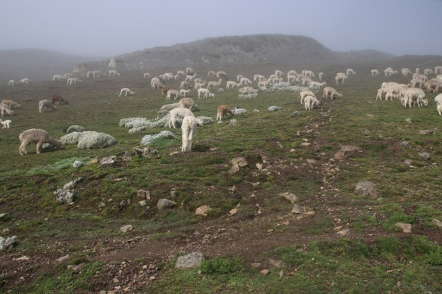 Alpacas in the fog.