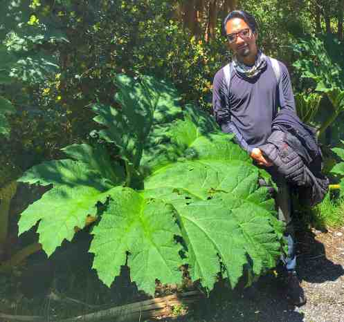 Large leaf of the Chilean Rhubarb in Chiloe Chile