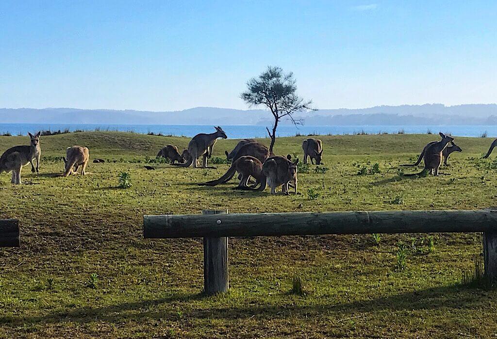 Kangaroos in a field by the ocean