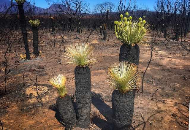 Grass trees sprouting new growth soon after the fires