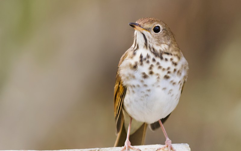 Hermit Thrush on twig