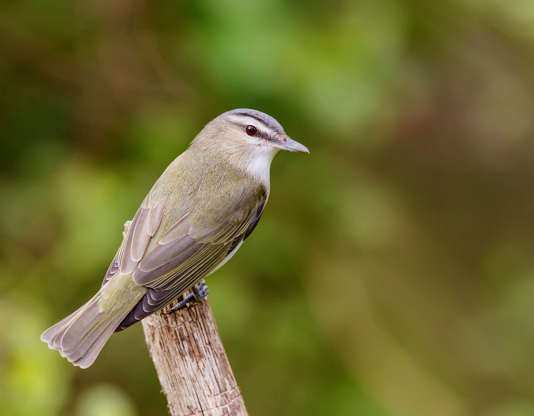 Red-eyed Vireo on a branch