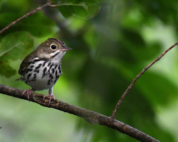 Ovenbird on tree branch