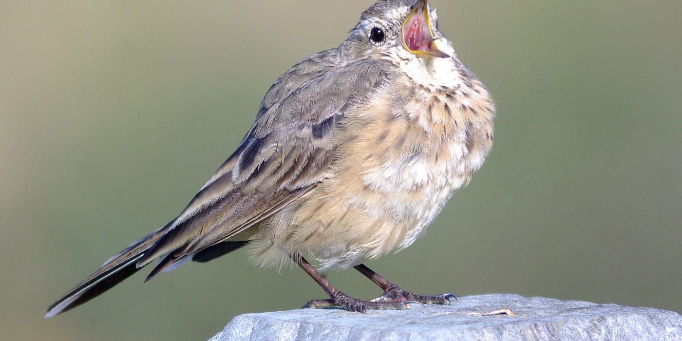American Pipit singing on a post