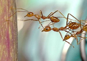 teamwork-fourmis