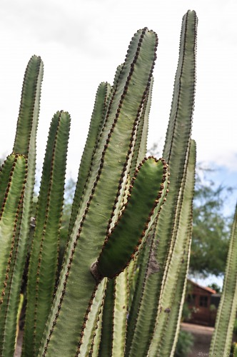 Tall Cactus Plants