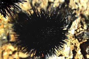 schwarzer seeigel