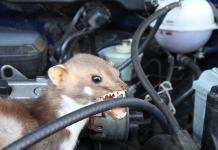 Ein Marder im Auto