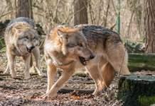 Bissige Wölfe