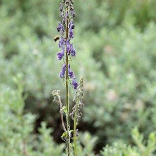 Aconitum lycoctonum, Hemsedal