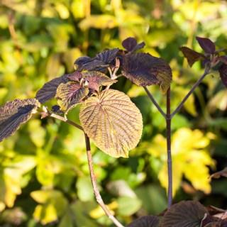 Viburnum-furcatum