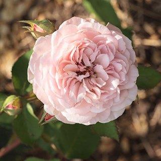 Austin Rose 'Leander'