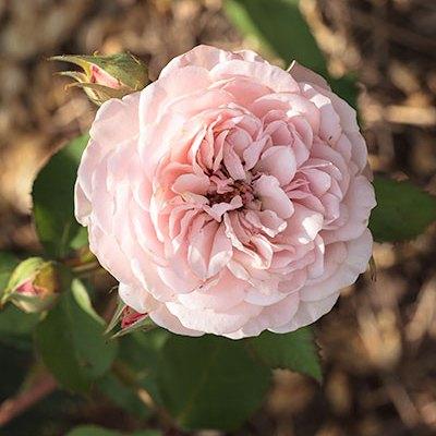 Rosa som i Rosa
