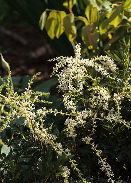 Astilbe Simplicifolia-grp 'White Sensation'
