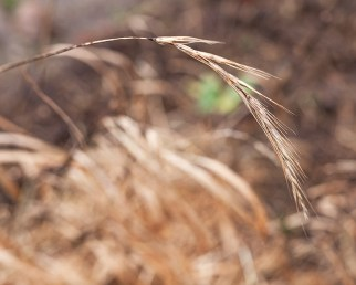 Elymus-sibiricus