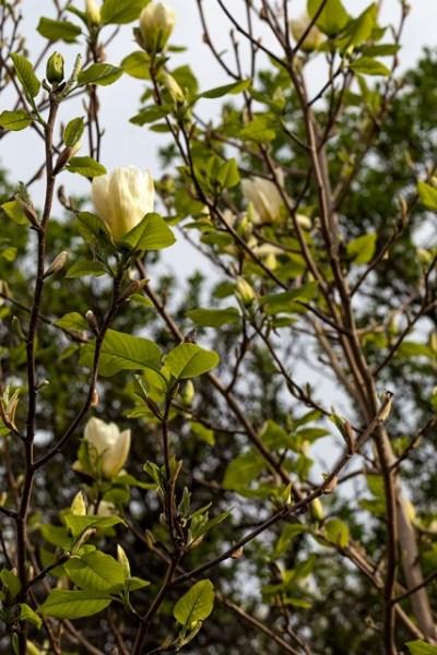 20130520_0009_Magnolia-Elisabeth