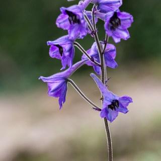 Delphinium caucasicum