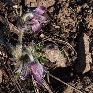 Pulsatilla-pratensis-ssp.-nigricans