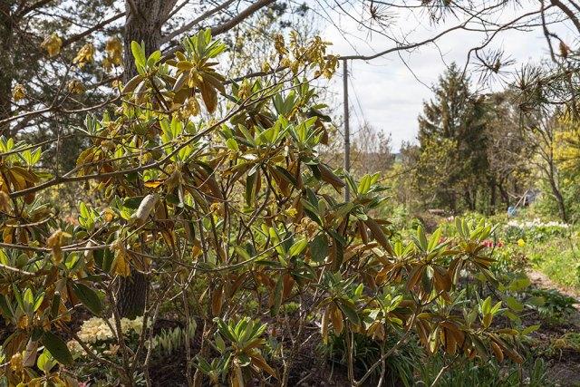 Rhododendron rufum