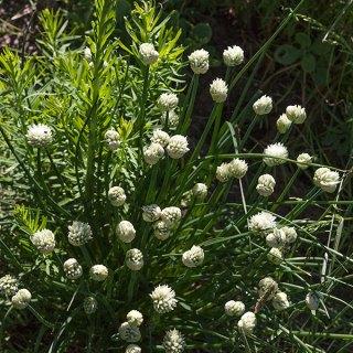 Vit gräslök, Allium schoenoprasum 'Album'