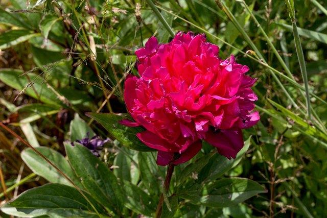 Paeonia lactiflora 'Philippe Rivoire'