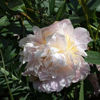 Paeonia lactiflora 'James Pillow'