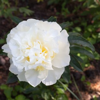 Paeonia lactiflora 'Honey Gold'