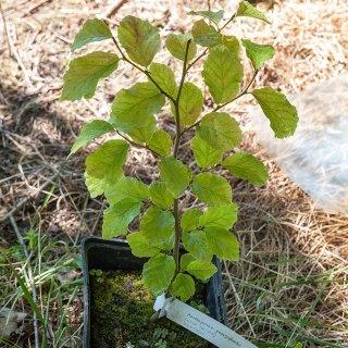 Parottia persica