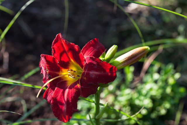 Hemerocallis 'Galena Holiday'
