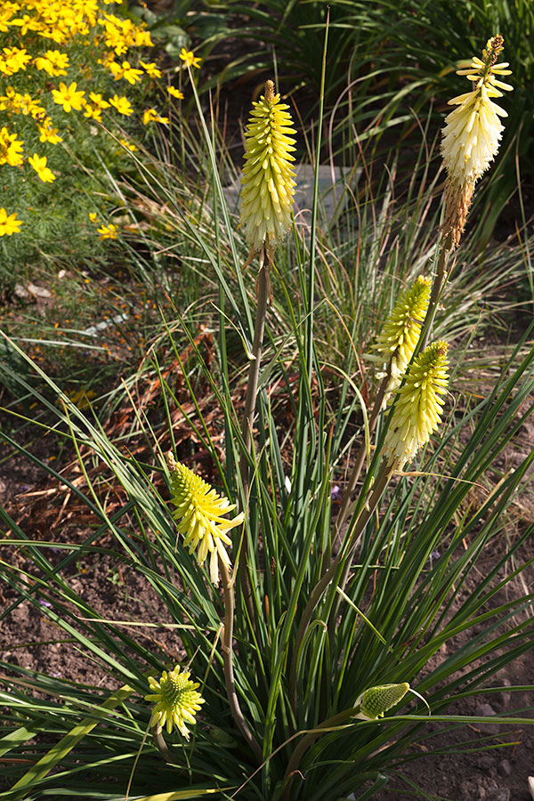20150823_0033_Kniphofia-Pineapple-Popsicle