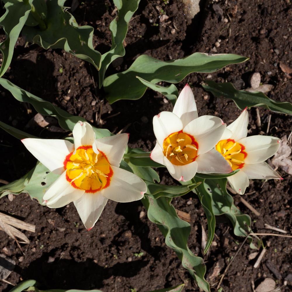 Ordlöst - Tulipa kaufmanniana 'Heart's Delight'