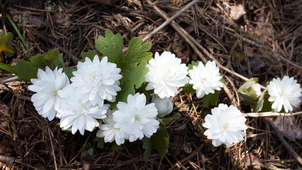 Vårligt grönt - Sanguinaria canadense 'Multiplex'