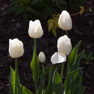 Tulipa 'Silver Dollar'