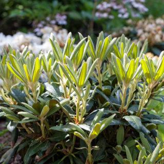 Huvudnumret - Rhododendron yakushimanum 'Kalinka'