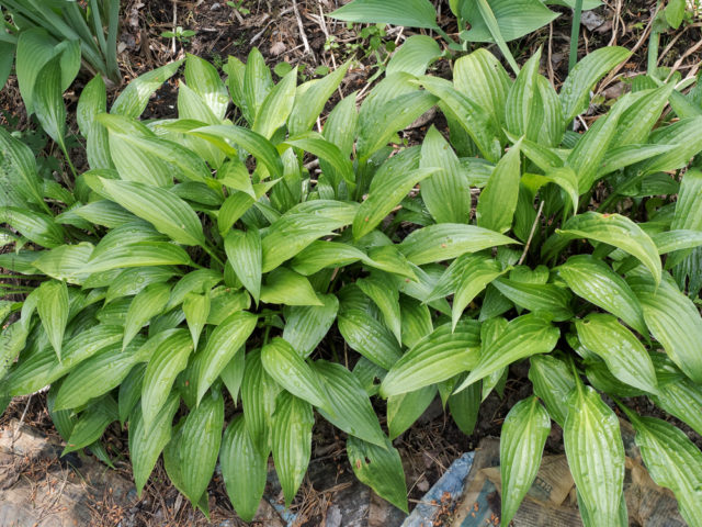 Hosta 'Leather Sheen'