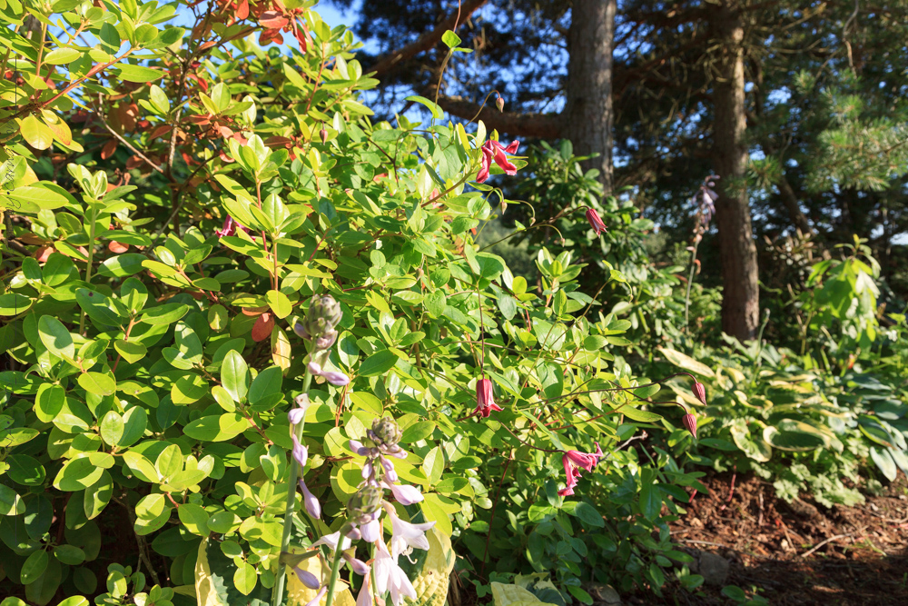 Clematis-'Etoile-Rose'