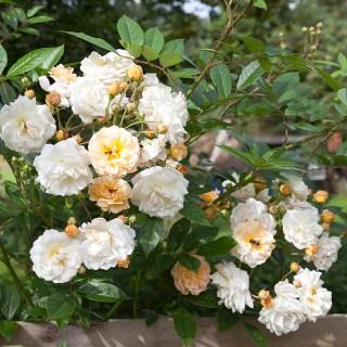 Rosor - Rosa 'Ghislaine de Feligonde'