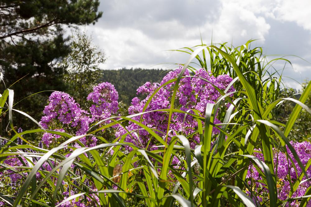 Phlox paniculata hög lila