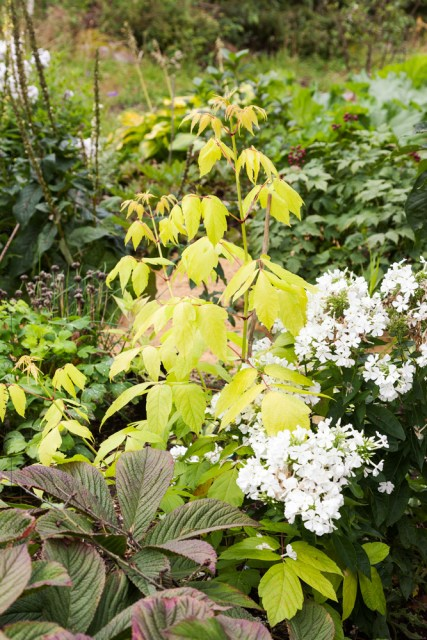 Skynda - Acer 'Odessanum' och Phlox paniculata 'White Flame'
