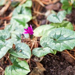 Cyclamen hederifolium 'Red Sky'