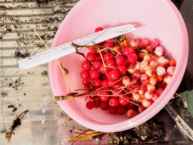 laxrosa - rönnbär, Sorbus