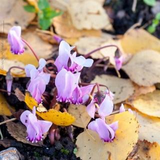 Knölar - Cyclamen hederifolium