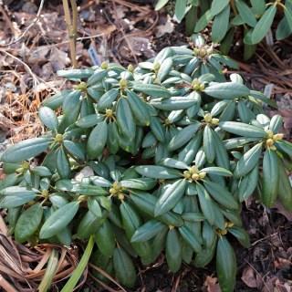 Rhododendron yak. 'Polaris'