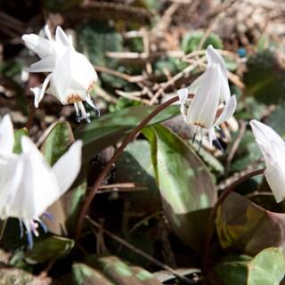 Erythronium dens-canis 'Snowflake'