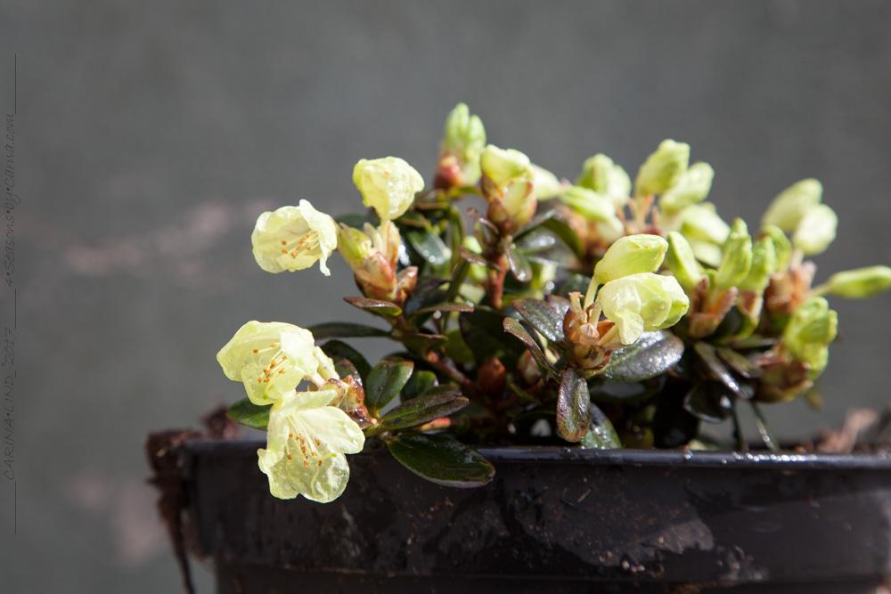 Barrotade rhododendron